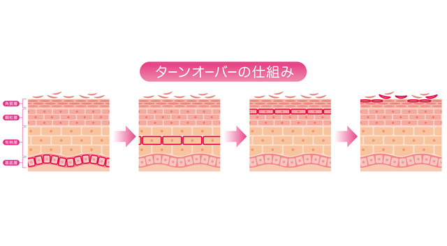 肌のターンオーバー仕組み